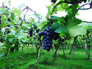 Vineyard Tour at Indico Wine Bali