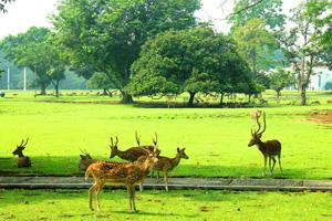 deer in bogor botanic garden